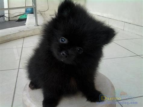 miniature pomeranian price dunia anjing jual anjing pomeranian mini pom all black for sale price negooo
