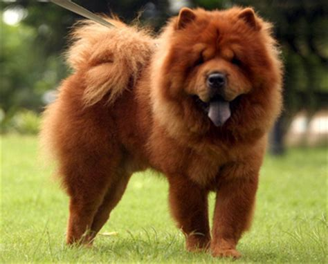 dogs that look like lions that looks like a