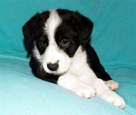 collie puppies for sale border collie puppies for sale uk west breeds picture