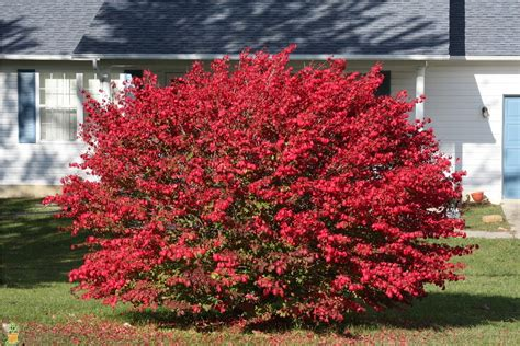 burning bush for sale euonymus alatus the planting tree