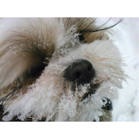 shih tzu eyelashes 312 best images about shih tzu obsession on pets babies and
