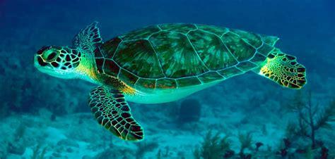 imagenes tiernas de tortugas tortugas de mar im 225 genes y fotos