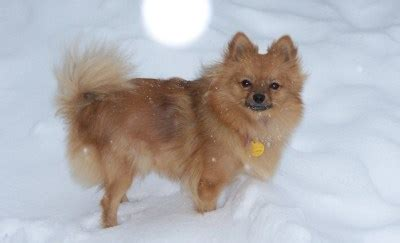 my pomeranian is wheezing housebreaking problems with a pomeranian thriftyfun