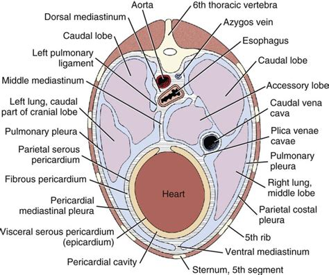 transverse and longitudinal sections of the abdominal cavity transverse and longitudinal sections of the abdominal