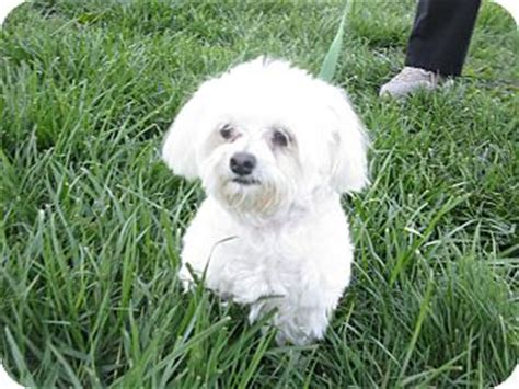 dogs for sale indianapolis maltese breeders in indiana breeds picture