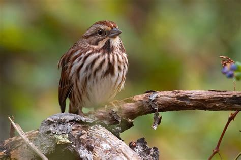 top 28 song sparrow sound writing careann s musings
