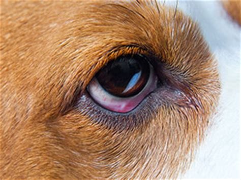 dog care: eye injuries | cesar's way