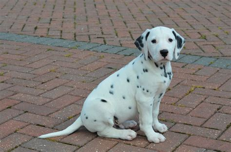 puppies iowa dalmatian puppies picture nc