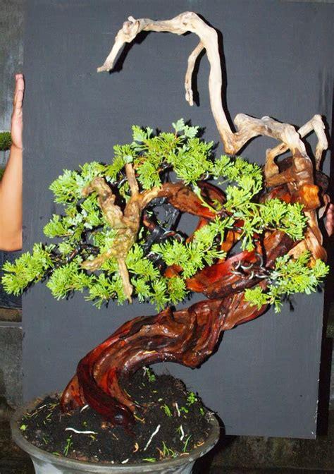 tips perawatan bonsai cemara juniperus