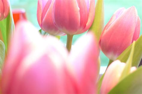imagenes para fondo de pantalla de tulipanes fondos de pantalla de tulipanes wallpapers de tulipanes