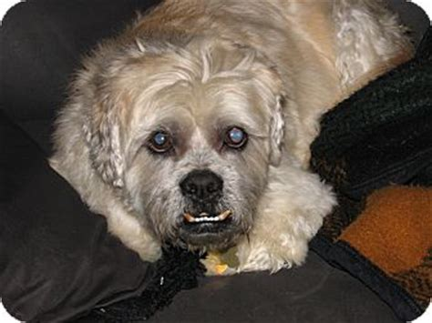 shih tzu rescue indiana corky adopted indianapolis in lhasa apso shih tzu mix