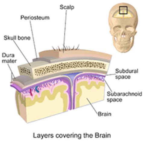 layer of fat on back of head scalp