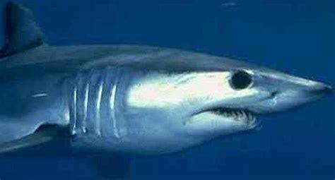mako boats san diego mako my day bonito sharks following the fray san diego