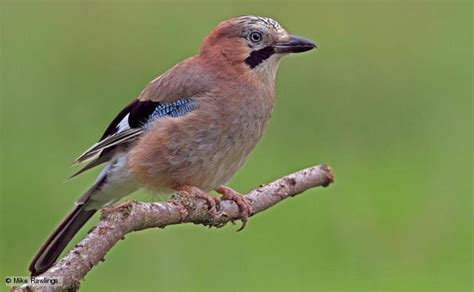 bbc nature jay videos news and facts