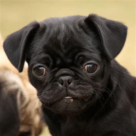 black pug follow the piper pugs