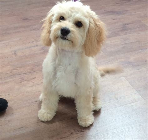 Cavapoo Shedding by Cut Hair Images Gallery