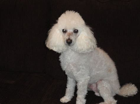 white poodle puppies poodle puppies white toys for prefer