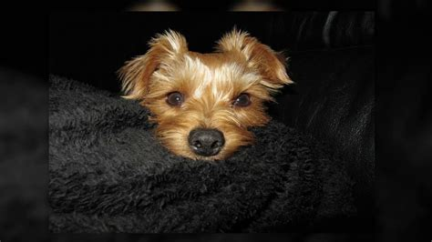 how to potty your yorkie how to potty your yorkie