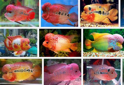 Batu Akik Gambar Berbentuk Ikan gambar ikan louhan termahal dan tercantik ikan laga
