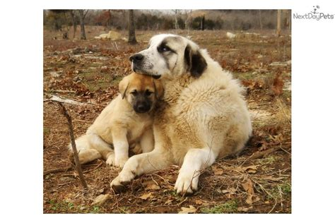 anatolian shepherd puppies for sale free anatolian shepherds puppies for sale breeds picture