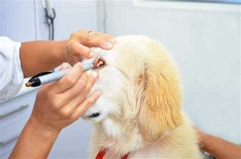 can dogs get pink eye pink eye in dogs symptoms causes diagnosis treatment recovery management cost