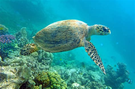 Puerto Rican Home Decor sea turtles of puerto rico and the caribbean