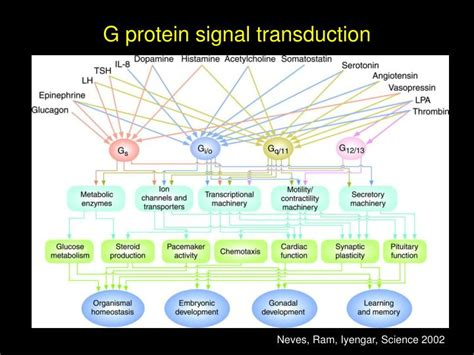 g protein signal transduction ppt signal transduction by g proteins powerpoint
