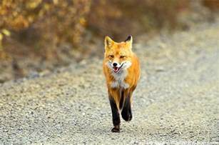 what do foxes eat what do red foxes eat