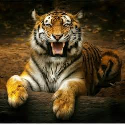 Tiger Cheetah Leopard Jaguar Panther Animal Wildlife Bigcat Tiger Leopard