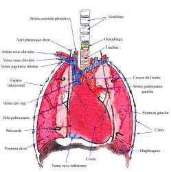 sch 233 ma anatomie poumons