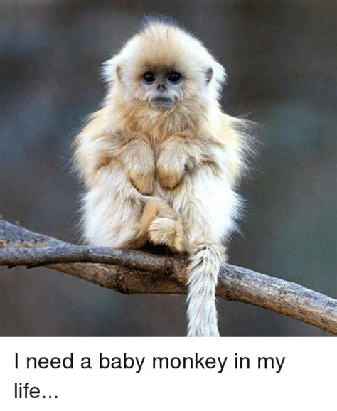 Baby Monkey Meme - 25 best memes about baby monkeys baby monkeys memes