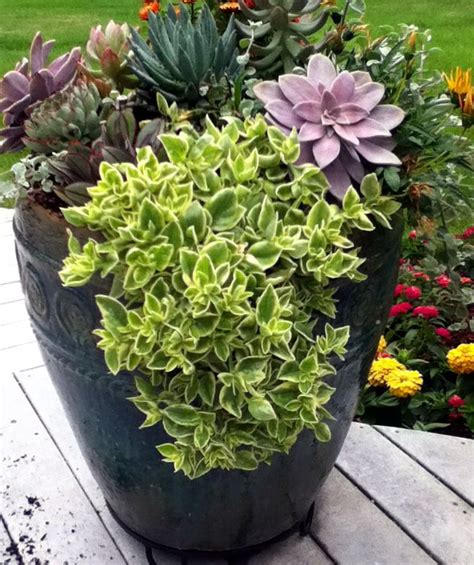 Best Planters For Succulents by Large Trailing Aptenia Plant Combos