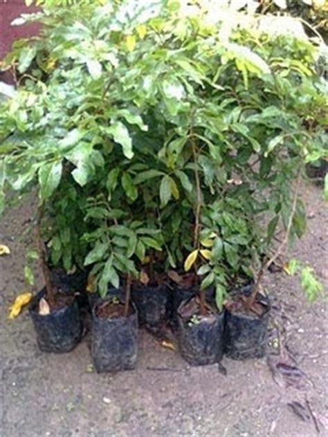 Bibit Tanaman Buah Leci tanaman buah buahan tanaman buah leci dataran rendah