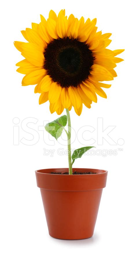 Yellow Color Home Design by Sunflower In A Pot Stock Photos Freeimages Com