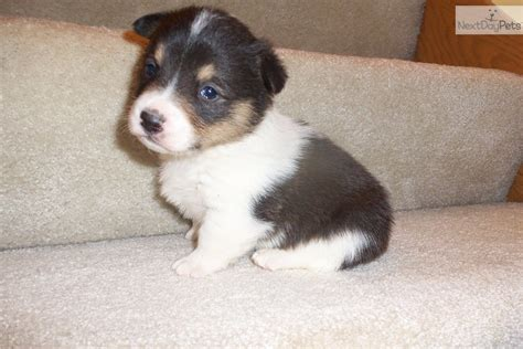 yorkie poo puppies for sale in des moines iowa corgi puppies for sale 0 00 pembroke corgi puppies for sale breeds picture