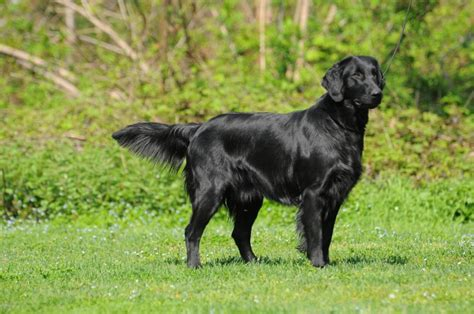 flat coated retriever excellence razas raza flat coated retriever