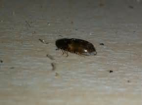 tiny black bugs in the kitchen thriftyfun