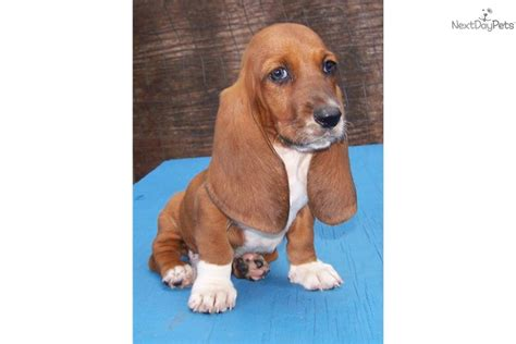 basset hound puppies for sale in alabama basset hound puppy for sale near gadsden anniston alabama 41f65fdb 0f71