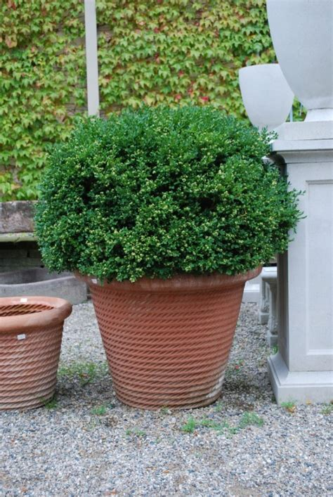 growing evergreens in pots dirt simple