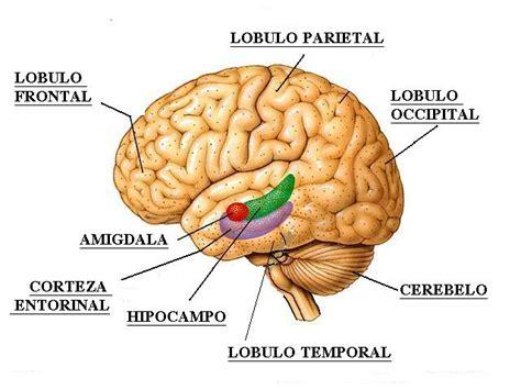 imagenes de el cerebro humano el cerebro gallery