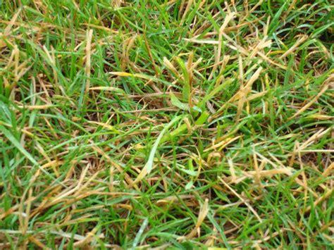 Gelbe Ameisen Im Garten 3820 by Jede Menge Verdorrte Halme Im Rasen Mein Sch 246 Ner Garten