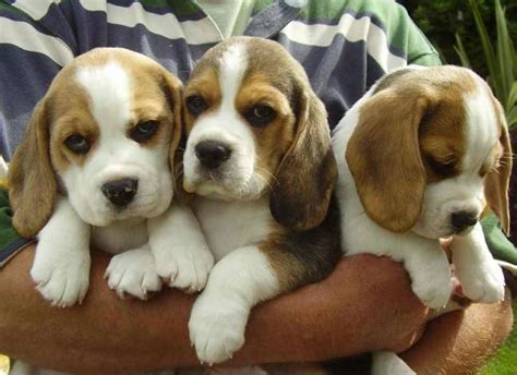 best puppies best breeds for children dogs for family friendly dogs breeds picture
