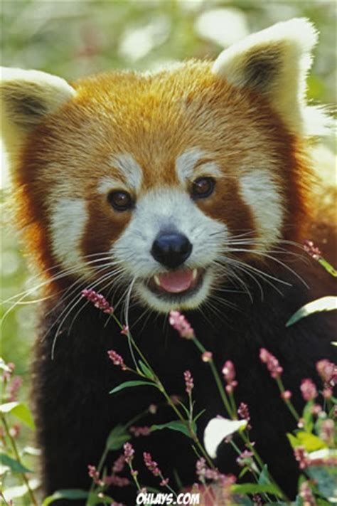 red panda iphone wallpaper  ohlays