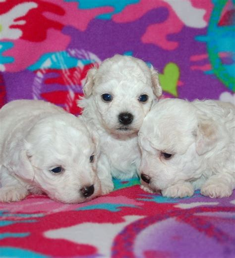 white bolognese puppies sale what is a bolognese 10 handpicked ideas to discover in animals and pets