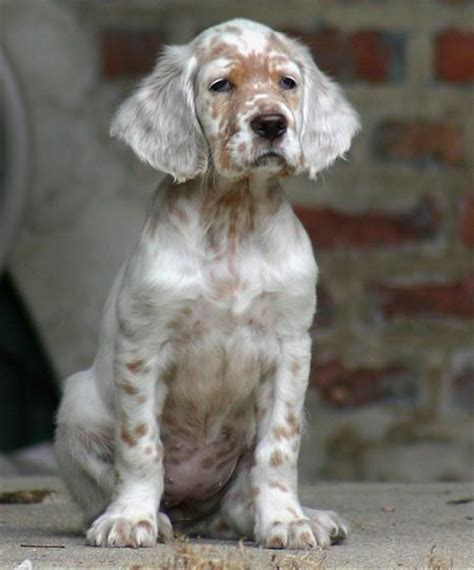 english setter dog pictures thepaintedbench english setter puppy mountain vagabond