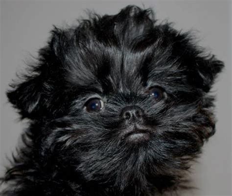 affenpinscher puppies for sale 11 month affenpinscher puppy st neots cambridgeshire pets4homes