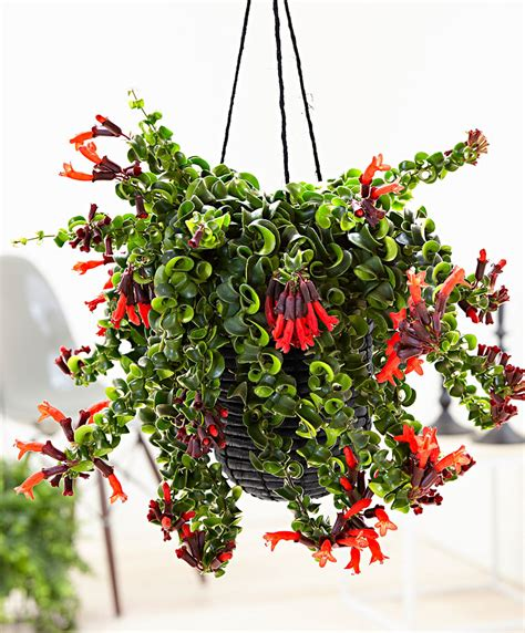 buy house plants lipstick plant www pixshark com images galleries with