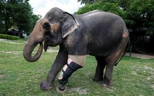 le elefant en images tha 239 lande une proth 232 se pour mosha l 233 l 233 phant