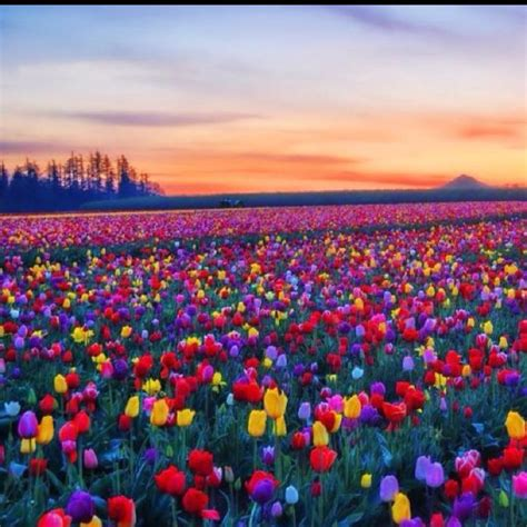 tulip feilds tulip field beautiful flowers gardens pinterest
