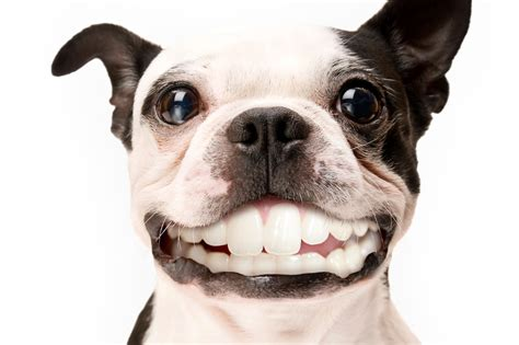 why do dogs smile cheesy smile www pixshark images galleries with a bite